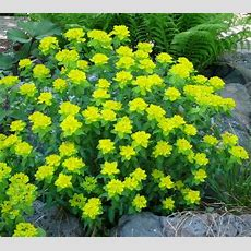 Cushion Spurge Yellow Flowers In April, Bright Green
