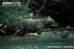 Rhinoceros sondaicus | Tumblr