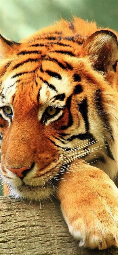 Cats Tiger Majestic Down Lying Predator Tablet