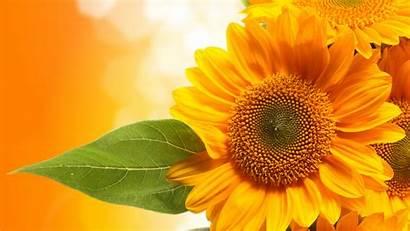 Yellow Flowers 5k Dark 4k Sunflowers Closeup