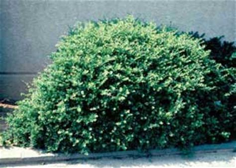 bush in japanese dwarf japanese holly