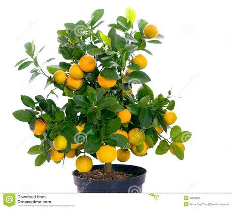 Full Of Small Citrus Tree Stock Photos Image 4020853