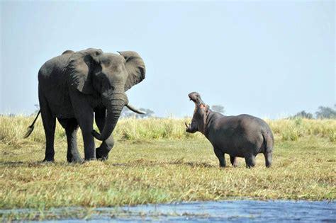 si e social hippopotamus l 39 ippopotamo nel fiume e l 39 elefante invasore