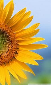Download Sunflower Mobile Wallpaper Gallery