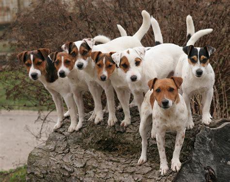 prt oder jrt parson jack russell terrier