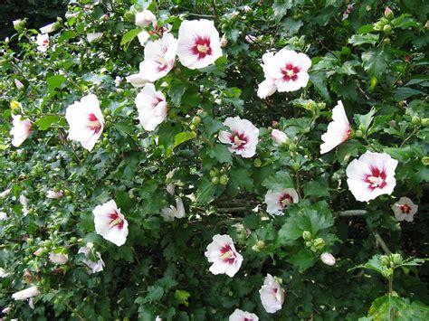 flowering shrubs fafardflowering shrubs for fall