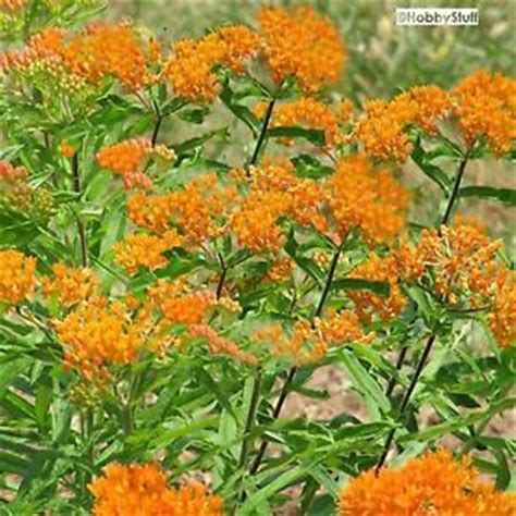 monarch butterfly only food source milkweed butterflyweed