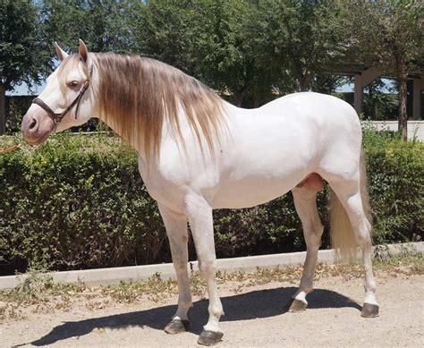 horse andalusian coat colors horses especial iv