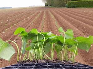 Culture De La Patate Douce : les patates douces sont aussi cultiv es en beauce ~ Carolinahurricanesstore.com Idées de Décoration