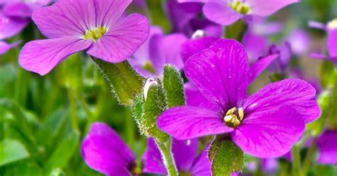 wallflowers plant finder care grow lovethegarden erysimum annuals