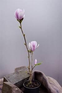 Magnolie Im Topf : magnolie satisfaction magnolia satisfaction g nstig ~ Lizthompson.info Haus und Dekorationen