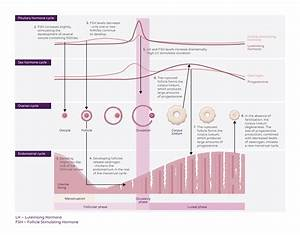 Menstrual Cycle Theory