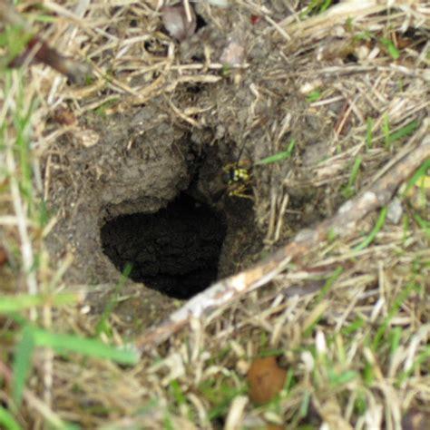 ground dwelling bees wasp nest underground