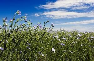 Was Ist Leinen : naturmaterial bio leinen flachs aus kontrolliert biologischem anbau kba f r naturprodukte von ~ Eleganceandgraceweddings.com Haus und Dekorationen