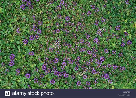 purple lawn self heal prunella vulgaris flowering lawn weed in uncut grass stock photo royalty free image