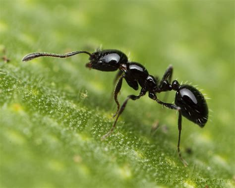 small ants small black ant monomorium minimum bugguide net