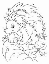 Coloring Porcupine Printable Tasmanian Tiger Animals Colouring Clipart Library sketch template