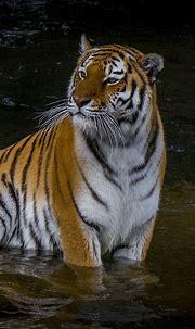 Tiger 4k Mobile Wallpapers - Wallpaper Cave