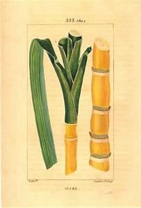 Sugar Cane - Bulletins - Southern Matters