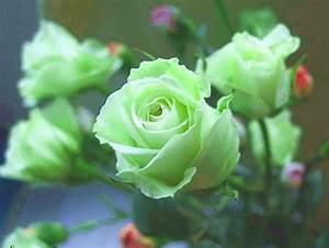 Green Rose flowers flowers