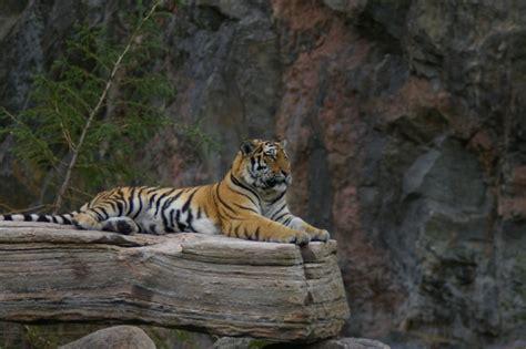 tiger  stock photo siberian tiger sitting
