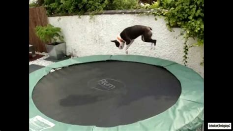 dogs  trampolines compilation youtube