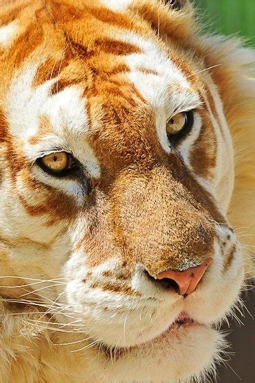 Very Beautiful Golden Tabby Tiger Animals Pinterest