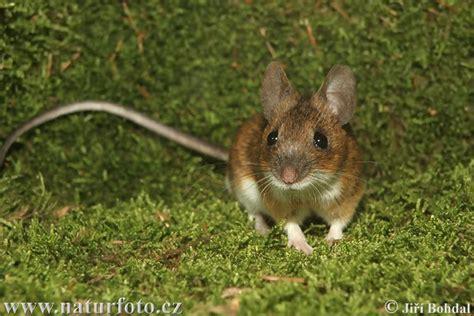 show me pictures of mice zelk zolt 193 n egy b 218 zaszem t 214 rt 201 nete tanitoikincseim lapunk hu