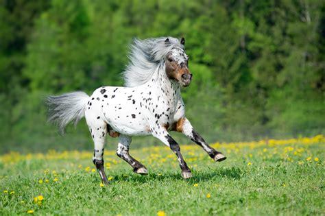 horse appaloosa miniature horses gallop pets pony runs meadow summer stallion dog easterwood leslie texas animal royalty mane winter young