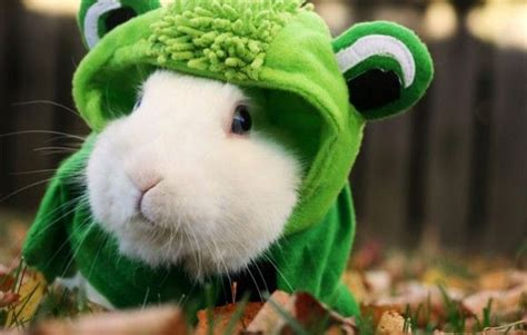 elliot  rabbit dressed    frog pet bunny funny