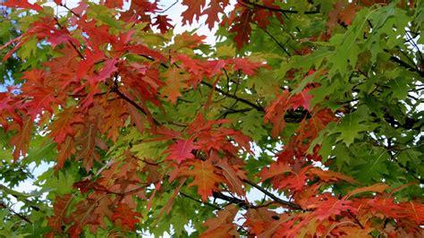 Laubbäume Garten Pflanzen by Roteiche Quercus Rubra Eichen Garten Wissen