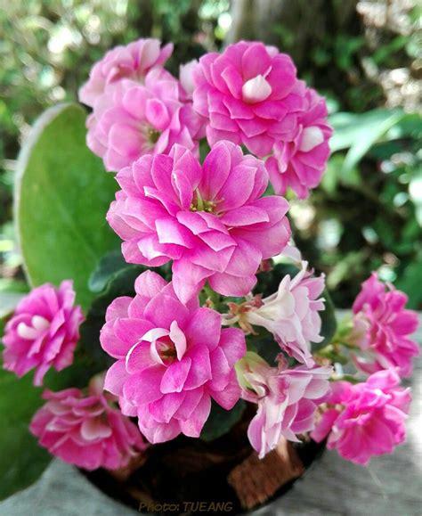 กุหลาบหิน(Kalanchoe) | ดอกไม้