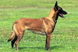 Belgian Malinois - All Big Dog Breeds