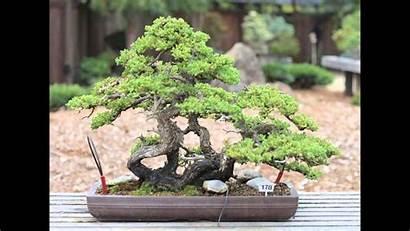 Bonsai Tree Facts True Juniper Dwarf Japanese