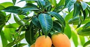 Image Gallery Mango Leaf