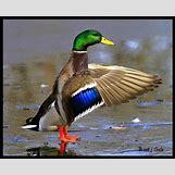 Drake Mallard Duck   1024 x 828 jpeg 126kB