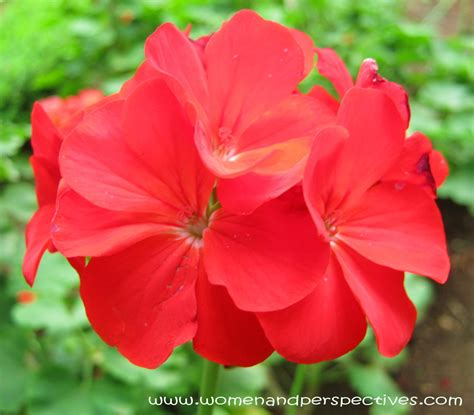 picture of geranium flower stardom red geranium flowers