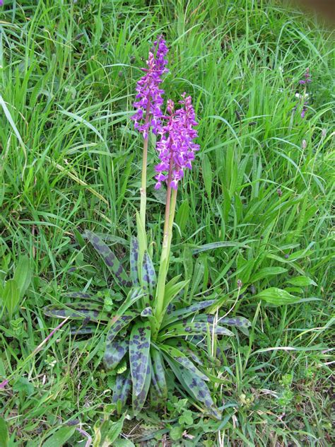 orchidees du cotentin orchis mascula