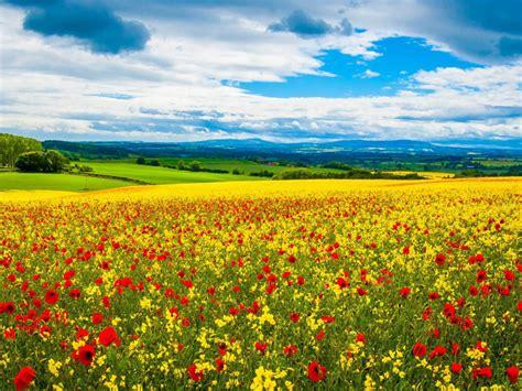 poppy field wild flowers spring desktop hd wallpapers