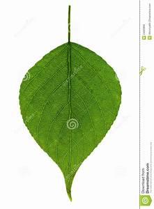 Single Green Leaf Royalty Free Stock Photos - Image: 24620898