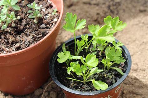 coltivazione prezzemolo in vaso coltivazione prezzemolo orto sul balcone come