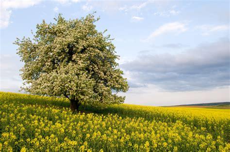 Birnbaum » Gibt Es Ihn Auch Selbstbefruchtend?