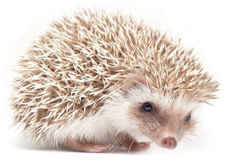 Heat L For Pygmy Hedgehog by H 233 Risson Pygm 233 E D Afrique One360 Eu