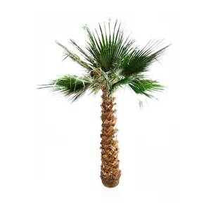 palmier washingtonia stabilis 233 elementvegetal grossiste en plantes stabilis 233 es et