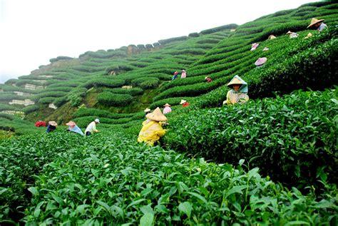 terrior is terrific on teas china and green teas