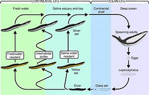 1 1  Schematic Diagram Of The American Eel Life Cycle