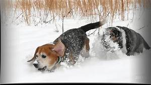 Skyview's Beagles Rabbit Hunting Walker And Sue Snow Run ...