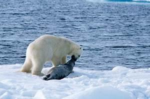 Polar Bear Diet: Bears on the Hunt - Polar Bear Diet ...