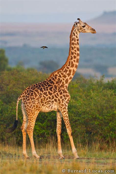 picher  graffe giraffe animals giraffe giraffe