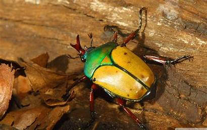 Colorful Beetle Beetles Insect Desktop Wallpapers Insects